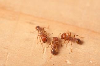 Houston Fire Ants - Protex Pest Control