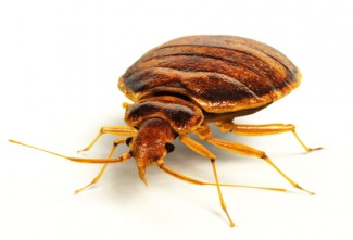 Bed Bugs Houston