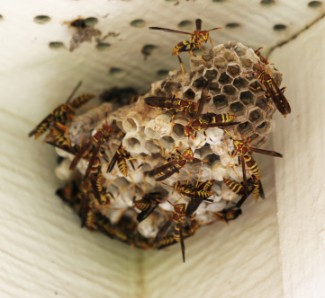 Yellow Jacket Wasp Nest | Protex Pest Control Houston