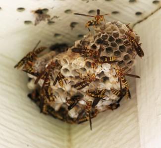 Yellow Jacket Wasp Nest | Protex Pest Control Houston