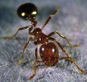 Large Fire Ant