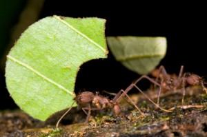 Leafcutter Ants in Houston
