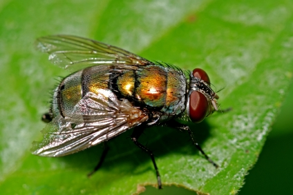 Houston House Flies often breed in your yard.