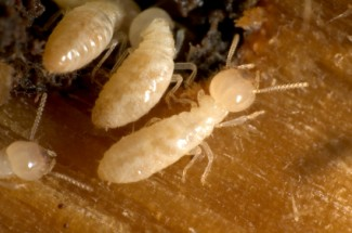 Termite damage is often hidden.