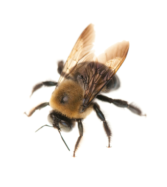 Carpenter Bees In Houston Are Big Boys