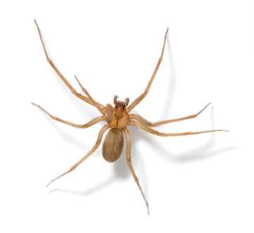 Brown Recluse Spider Houston - Protex Pest Control